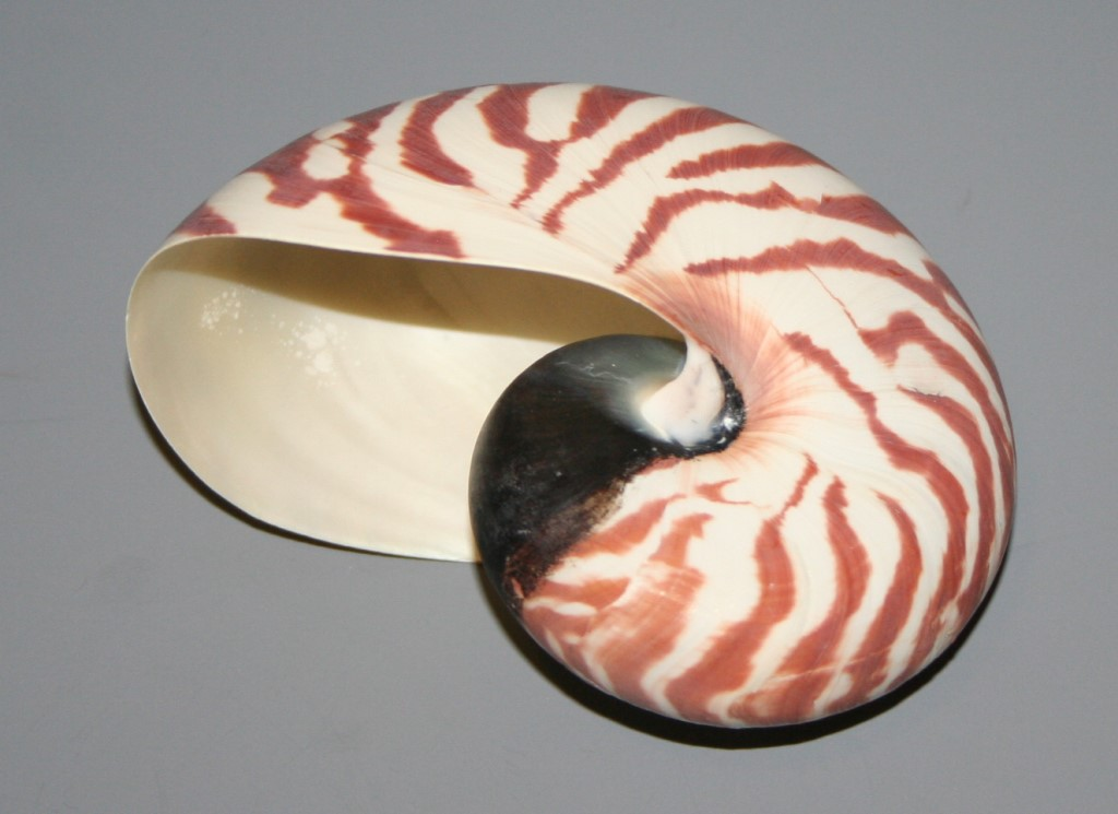 nautilus perlboot 10cm muschel schnecke unikat 120 ebay. Black Bedroom Furniture Sets. Home Design Ideas