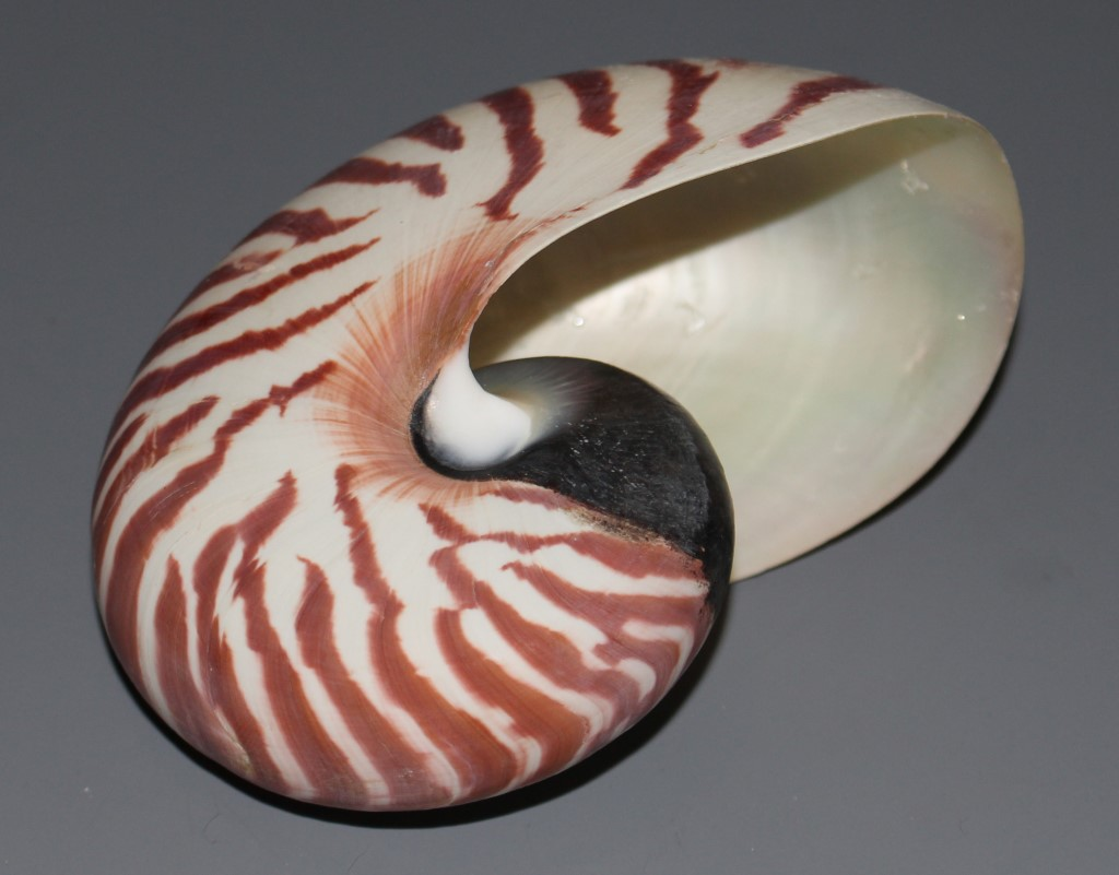 nautilus perlboot 11cm muschel schnecke unikat 126 ebay. Black Bedroom Furniture Sets. Home Design Ideas